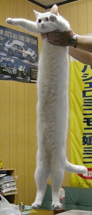 一隻好長的貓.jpg