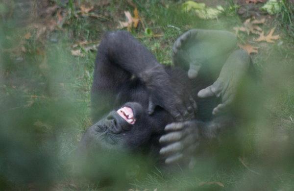 超愛笑的大猩猩-1.jpg