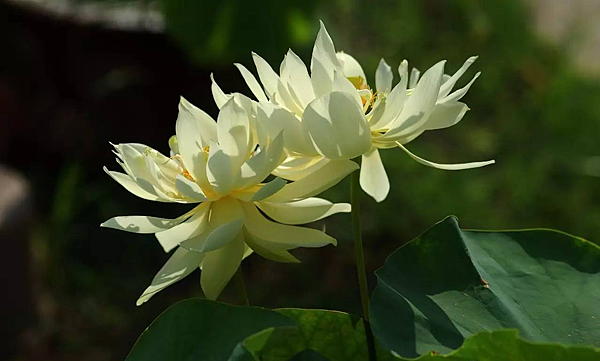 蓮花.png