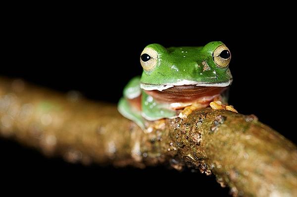 樹蛙.png