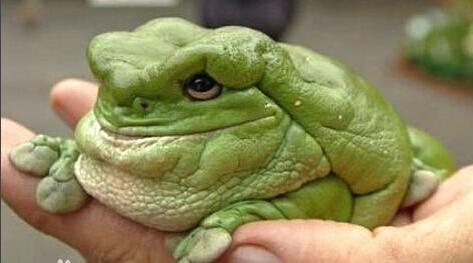 老爺樹蛙.png