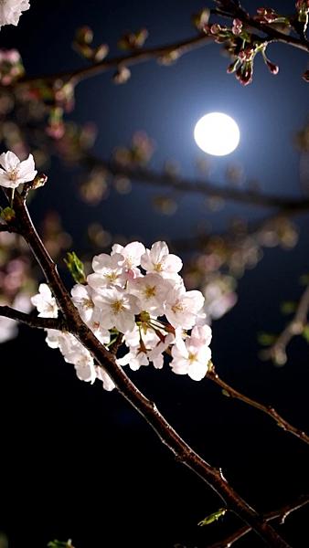 夜花.png