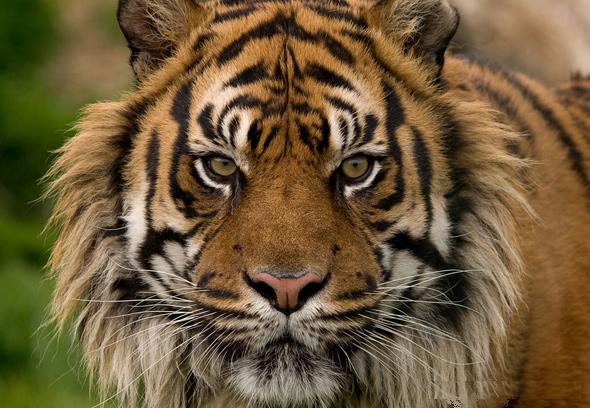 虎.png