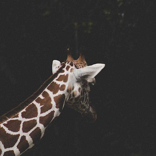 長頸鹿.png