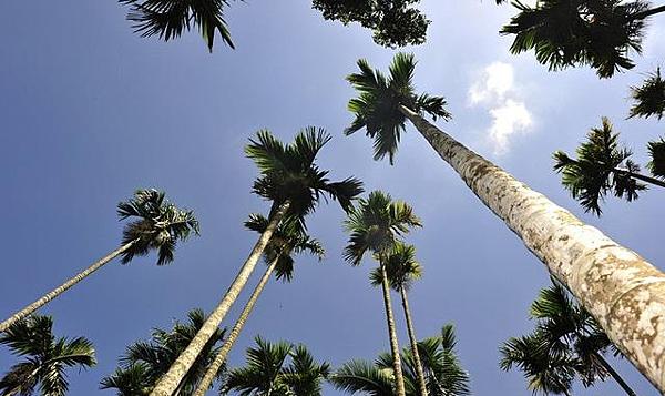 檳榔樹.png