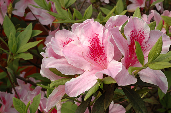 杜鵑花.png