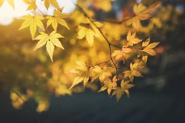 槭葉.png