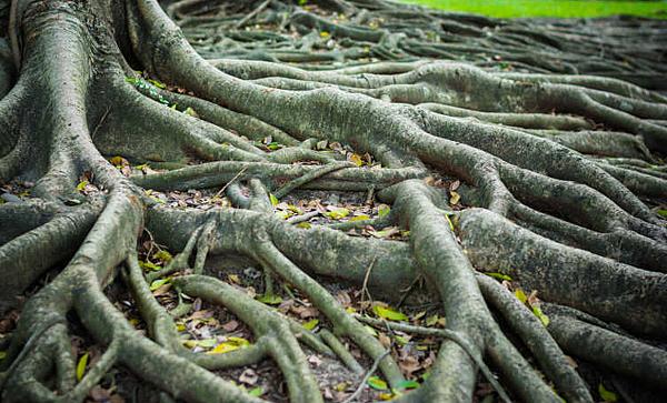 樹根.png