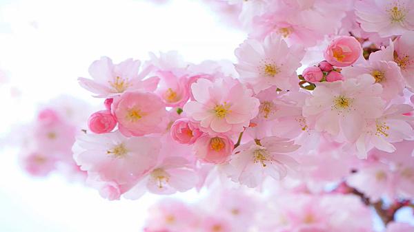 櫻花.png