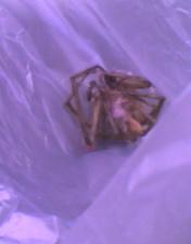 阿良家的死蜘蛛~活著跟手掌一樣大