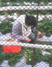 回外婆家後去大湖採草莓