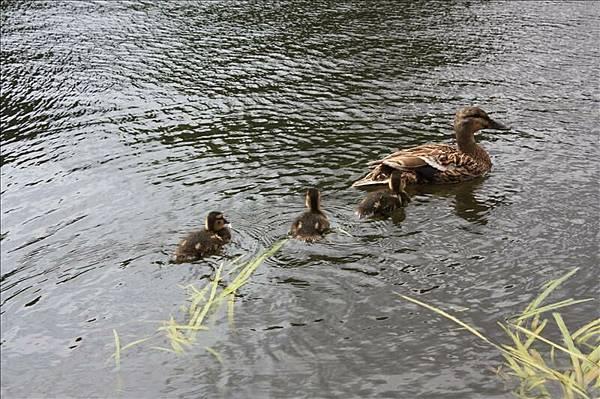 可愛的鴨子群