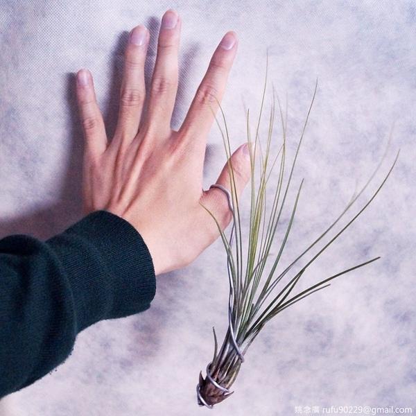 收到來自園藝達人的禮物,是個七天泡一次水即可活,且能放在室內增添綠意的小物。