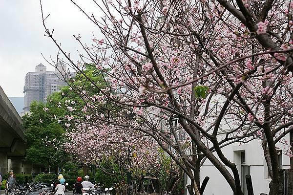 IMGP9334_奇岩站旁的櫻花樹