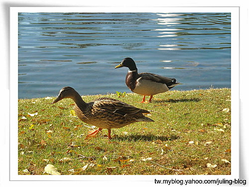 大湖畔水鳥生態1.jpg