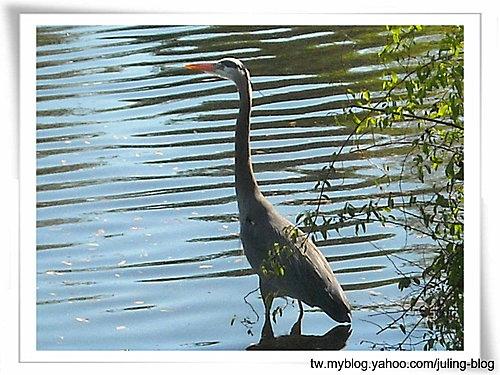 大湖畔水鳥生態6.jpg