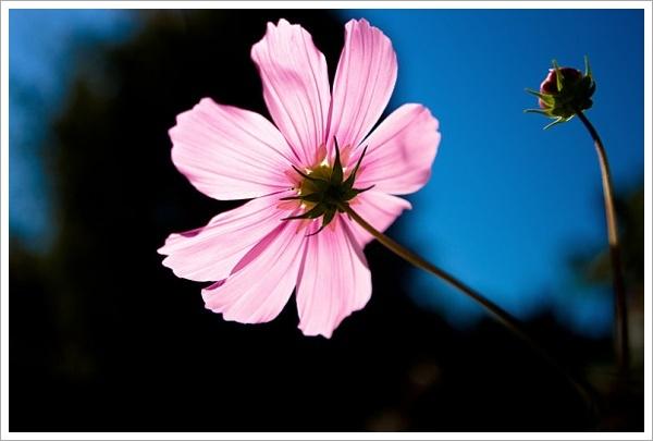 꾸미기_Pink_Flowe