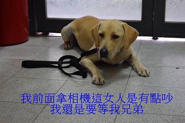 搜救犬可以不被干擾的專注等待