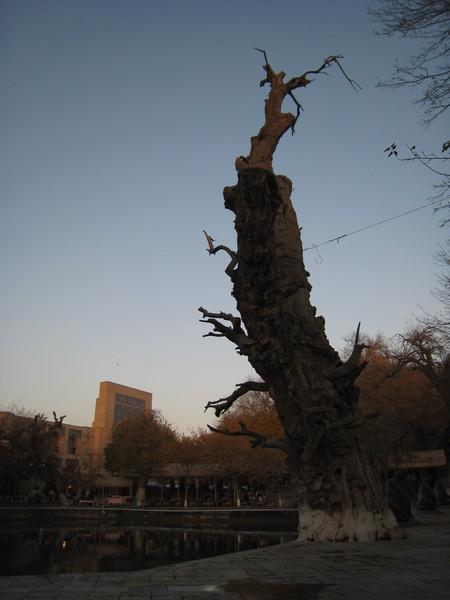 Bukhara (布哈拉) Lyabi Hauz Ancient Mulberry Tree
