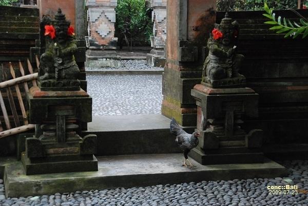雞在庭院散步