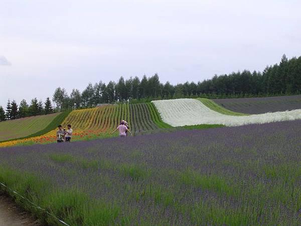 092著名的彩色花田.JPG