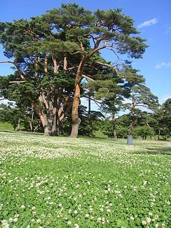 0711315-箱館奉行所旁遍布小花的草地與大樹.JPG