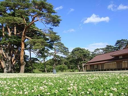 0711314-箱館奉行所旁遍布小花的草地與大樹.JPG