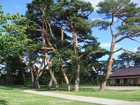 0711316-箱館奉行所旁遍布小花的草地與大樹.JPG