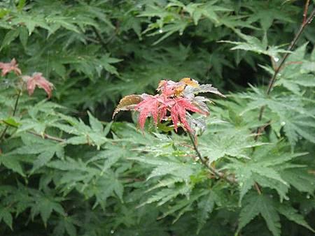 0714035-已經有紅的楓葉了.JPG