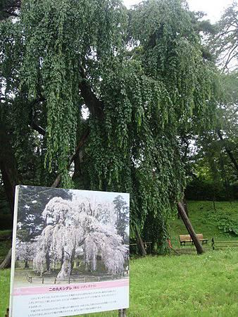 0714063-二之丸的大櫻花樹.JPG