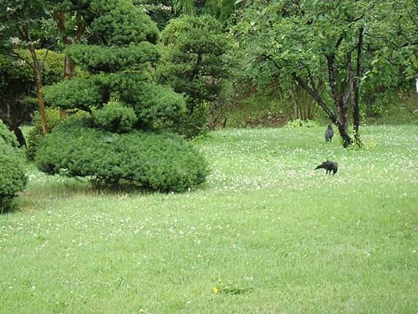 0714127-草地上的烏鴉.JPG