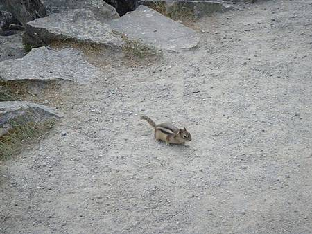 0712391-Lake Louise湖畔金毛地鼠.JPG