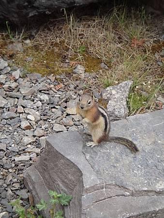 0712416-Lake Louise湖畔健行又見金毛地鼠A.JPG