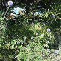 0716121-Queen Elizabeth Park伊莉莎白皇后公園.JPG