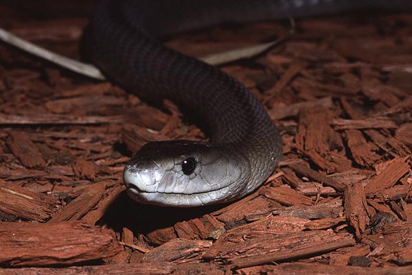 black mamba2