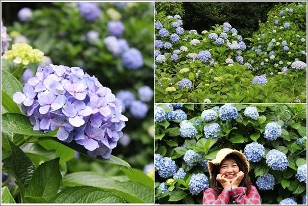 高山青農場繡球花花季