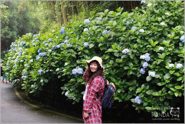 高山青農場(繡球花花季) (22)