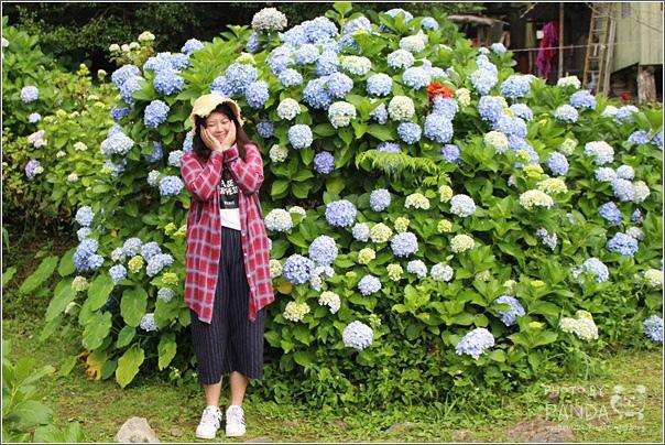 高山青農場(繡球花花季) (32)