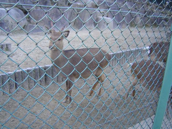 眼神精靈的鹿