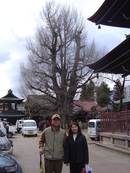飛驒國分寺裡的1200年老樹