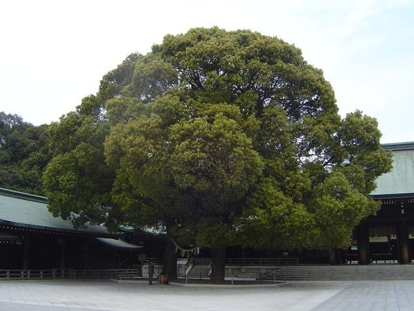 像棉花糖的老樹