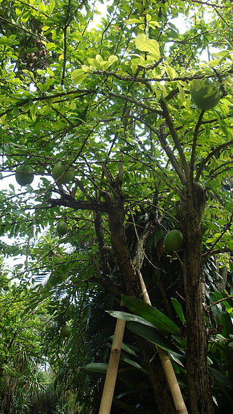 這樹的果實好特別,像保齡球一樣大顆