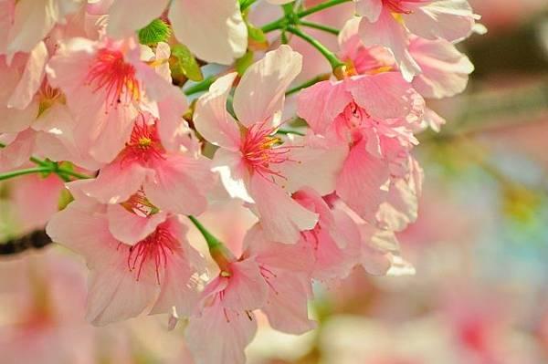 2016櫻花季景點