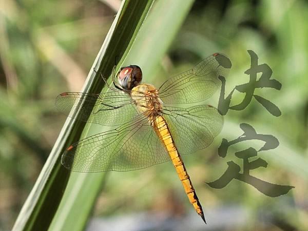 蜻蜓決定.JPG