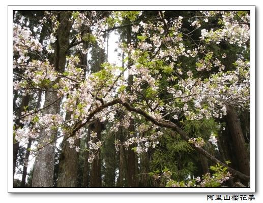 櫻花1.jpg
