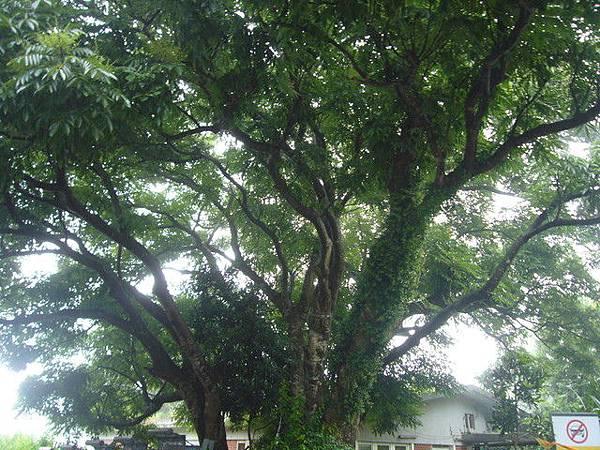 盛夏的福音樹