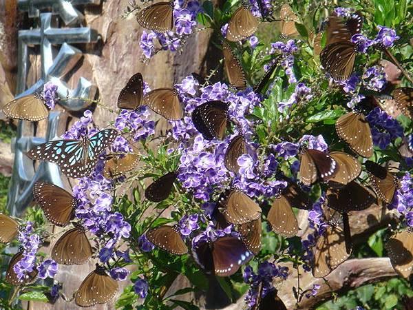 茂林紫蝶幽谷