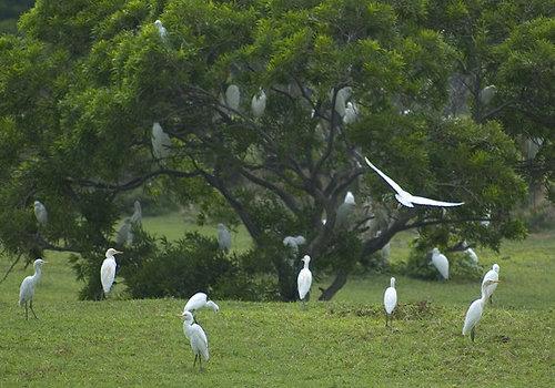 社頂公園山腳下的時候發現成群的白鷺鷥!ken拍攝