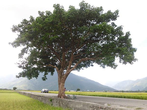 台東 天堂路樹