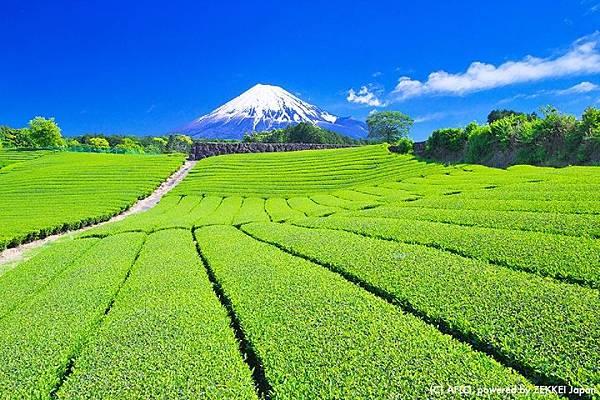 5月 茶田與富士山(靜岡縣)